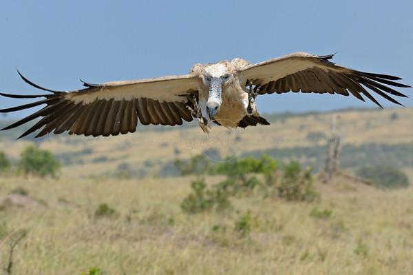 white backed vulture, bagh safari, kenya, masai mara