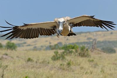"""White-Backed vulture in flight in Masai Mara"""