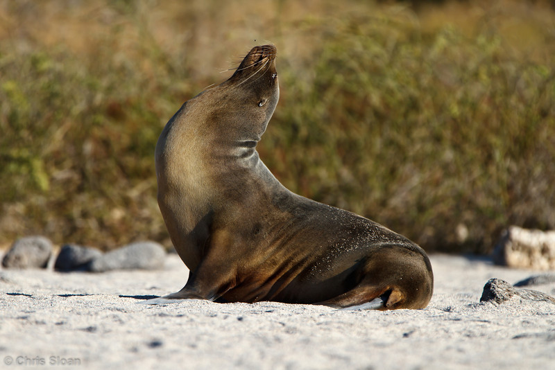 Galapagos Sea Lion male at North Seymour, Galapagos, Ecuador (11-19-2011) - 373.jpg
