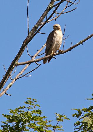 Hawk behind 40 Lenox St - 21 Jul 2012