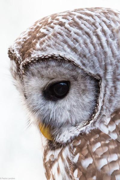Barred Owl - Super Detail