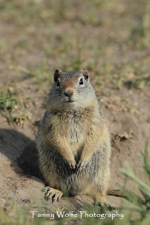 Squirrel, Uinta Ground