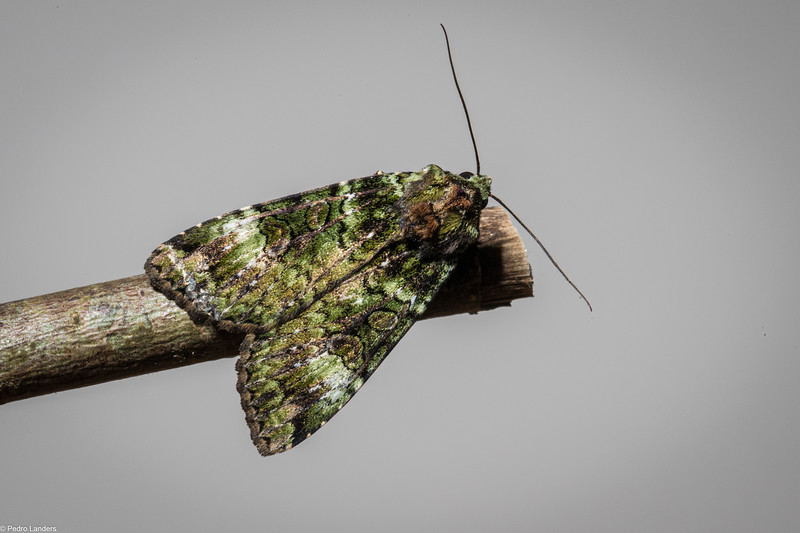 Green Arches Moth
