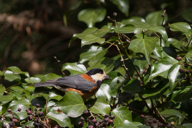 Varied Tit - Mt. Takao-san, Japan