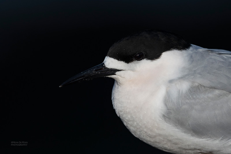 White-fronted Tern, Greymouth, SI, NZ, Sep 2018-2.jpg