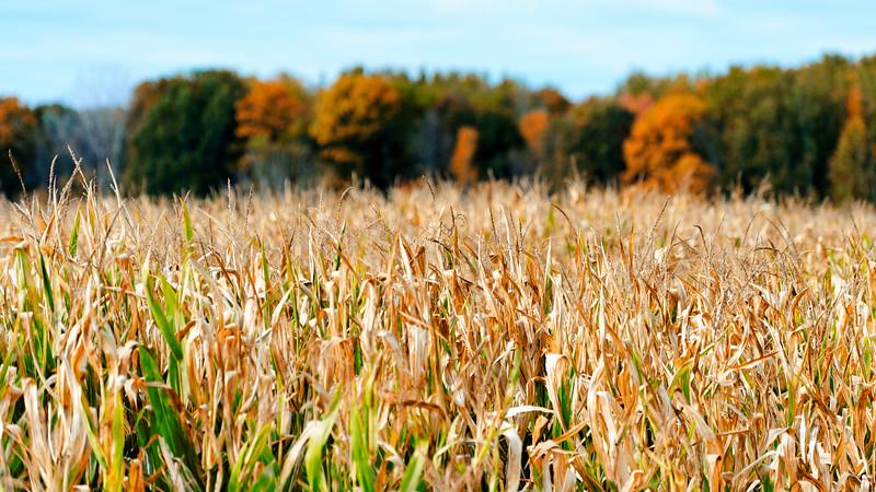 20170920 Fall by Phil Walenga Fall Corn Field.jpg