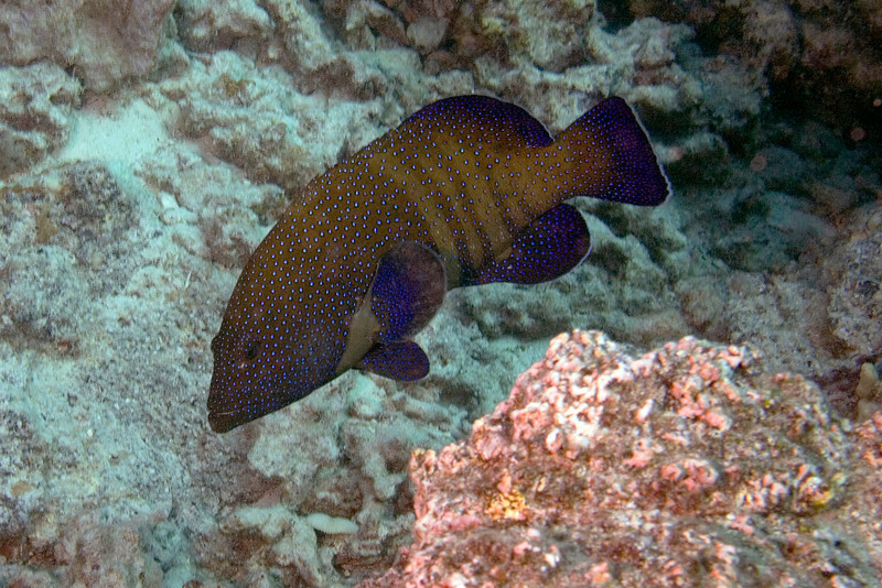 Peacock Grouper.jpg