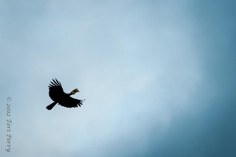 BIRDS - hornbill-0417.jpg