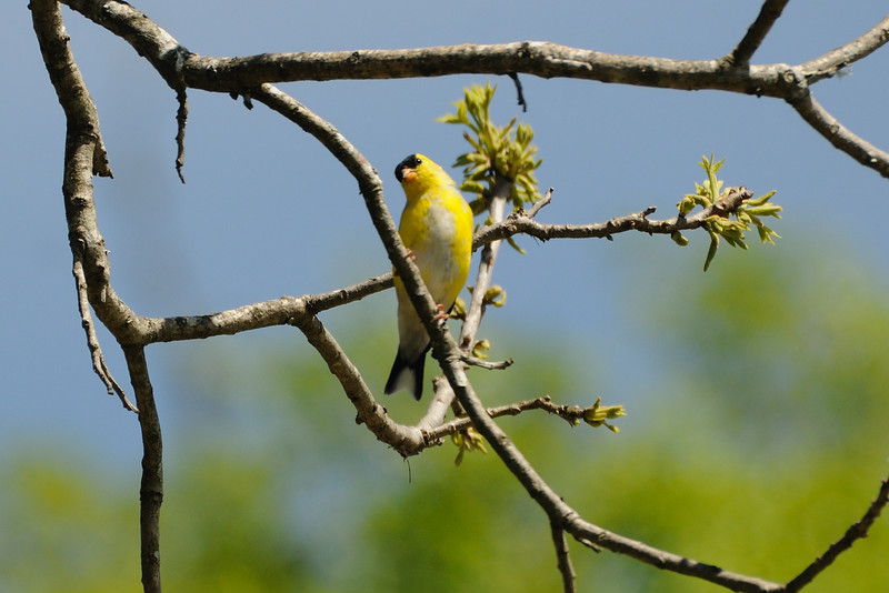 This American goldfinch refused to come close enough for me to get a good look at him.