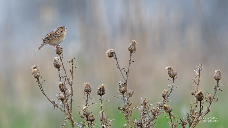 Grasshopper Sparrow, Burchard, NE, US, May 2018-2.jpg