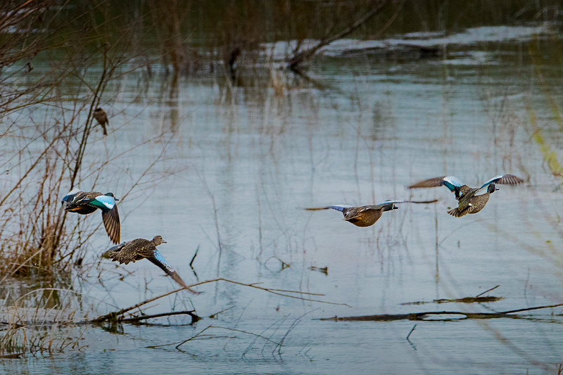 4.1.18 - Blackburn Creek Fish Nursery: Blue-winged Teal