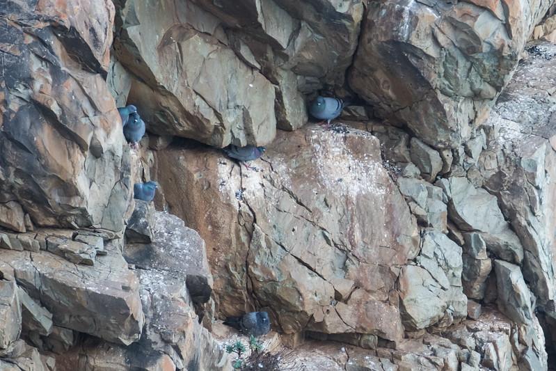 gołąb skalny
