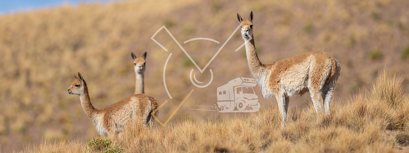 Curious group of Vicuñas in the Bolivian altiplano
