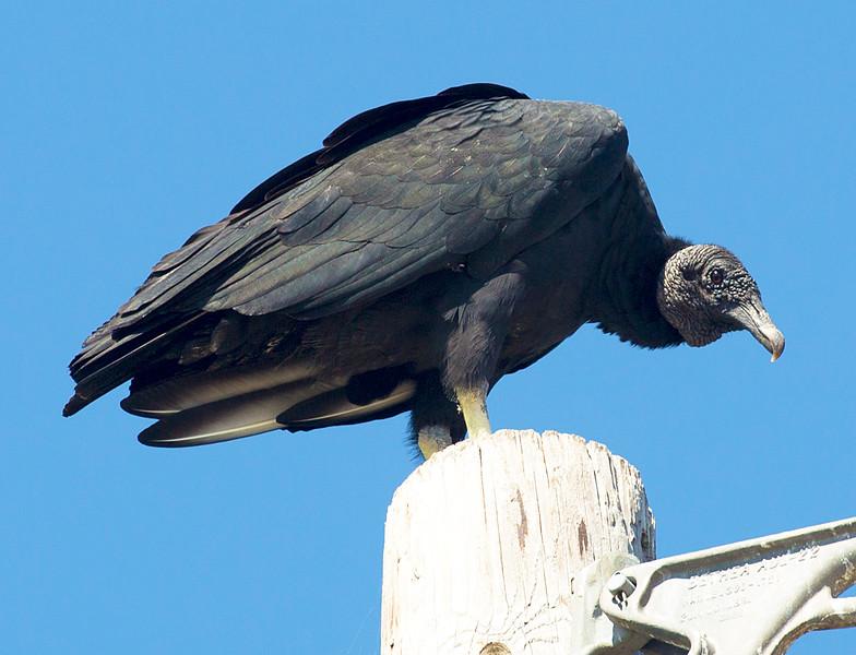 Turkey Vulture.  Brazos Bend State Park