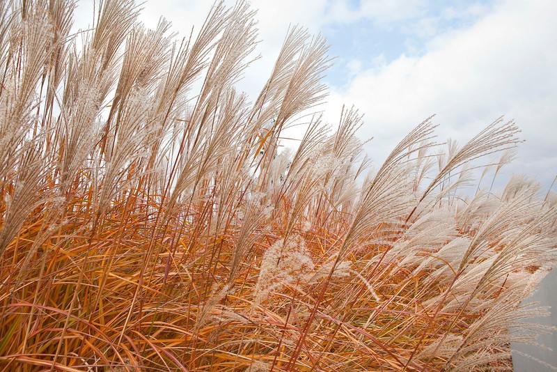 Ornamental grasses, Morton Arboretum, Lisle, Illinois