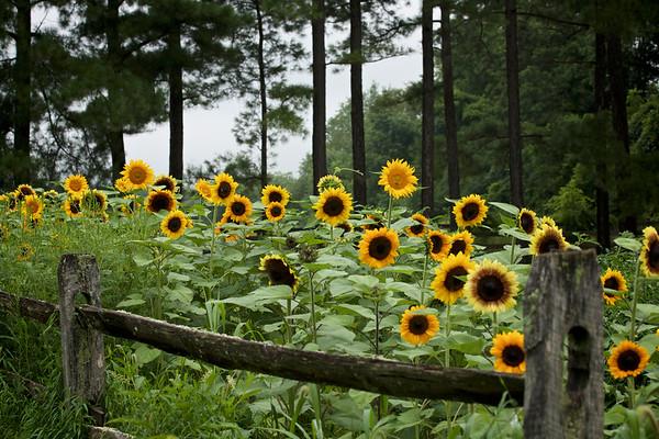 Bucks County Sunflowers