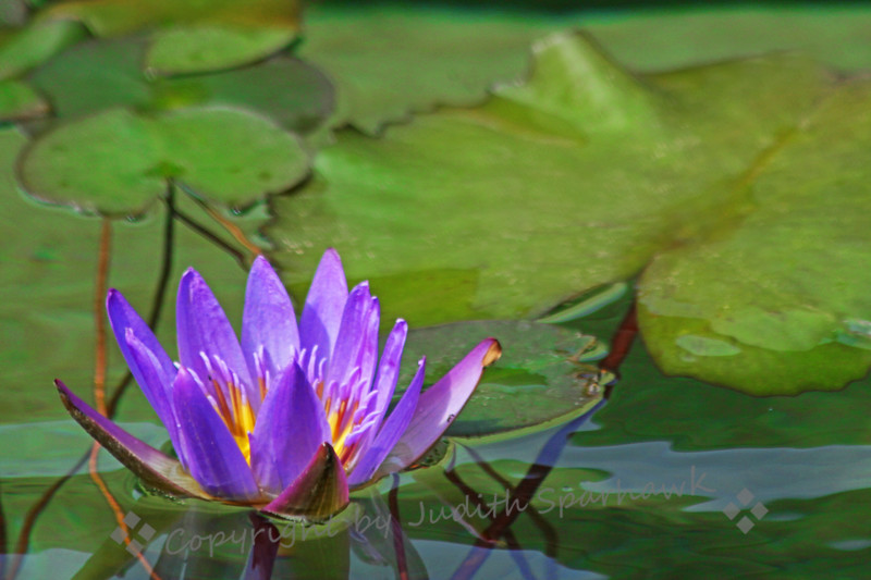 Water Lily Pond ~ I went back to the water lily shots from the Getty Villa, and found this one that I had overlooked before.  Tweaked it a bit, and decided I like it after all.