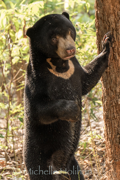 Moon Bear Cub, Wildlife Alliance Release Station, Chi Phat, Cambodia
