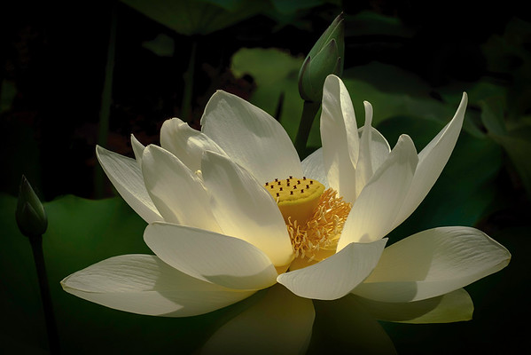 Lotus Cycle: The Tale of Padma