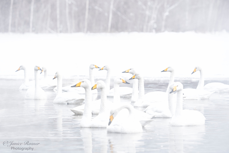 Whooper Swan Get Together