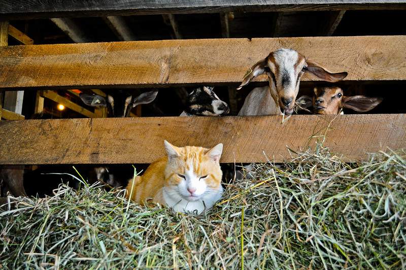 This is Orangey-White chillaxing in front of his cloven-hoofed friends, the Goats of Beekman Farm and Farmer John. They are the friendliest goats ever.