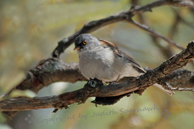 Yellow-eyed Junco ~ Another view of the Yellow-eyed Junco, seen on the road to Mt. Lemmon, above Tucson, Arizona.