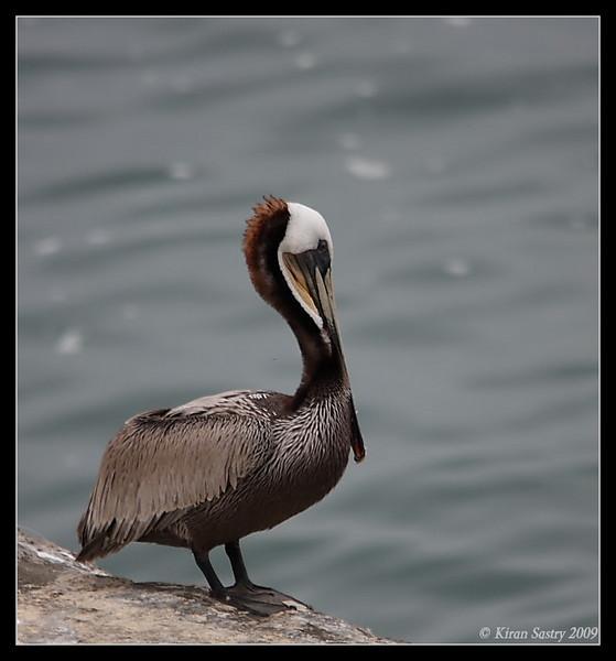 Brown Pelican, La Jolla Cove, San Diego County, California, May 2009