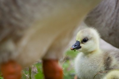 Chinese Goslings