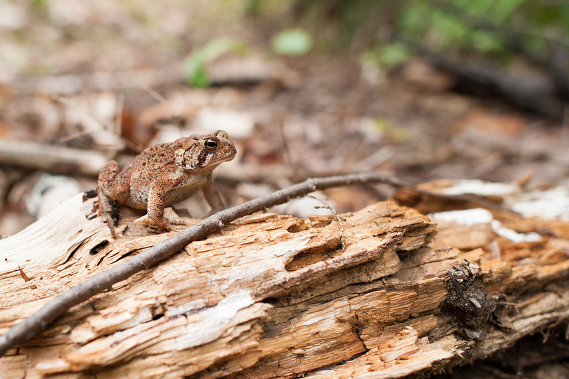 A most unafraid and cooperative frog along the Bearcamp River Trail.