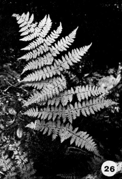 26. Dryopteris glabra Image from the Kaala Bog Plant Guide: Kaala Natural Area Reserve, Mt. Kaala, Oahu, a 1992 publication of the State of Hawaii (DLNR/DOFAW) .
