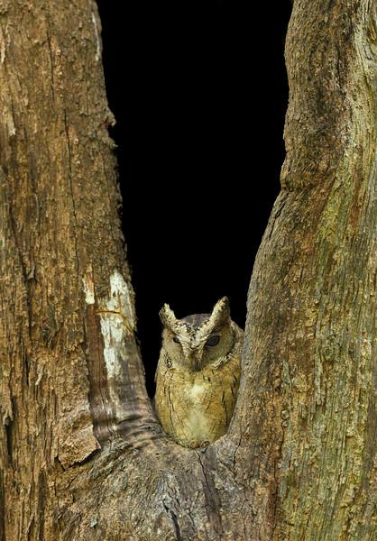 Indian-scops-owl-valparai.jpg