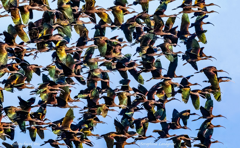 _DSC8497White-faced IBIS Flock takeoff.jpg