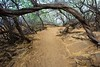 The trail goes through the Kiawe trees.