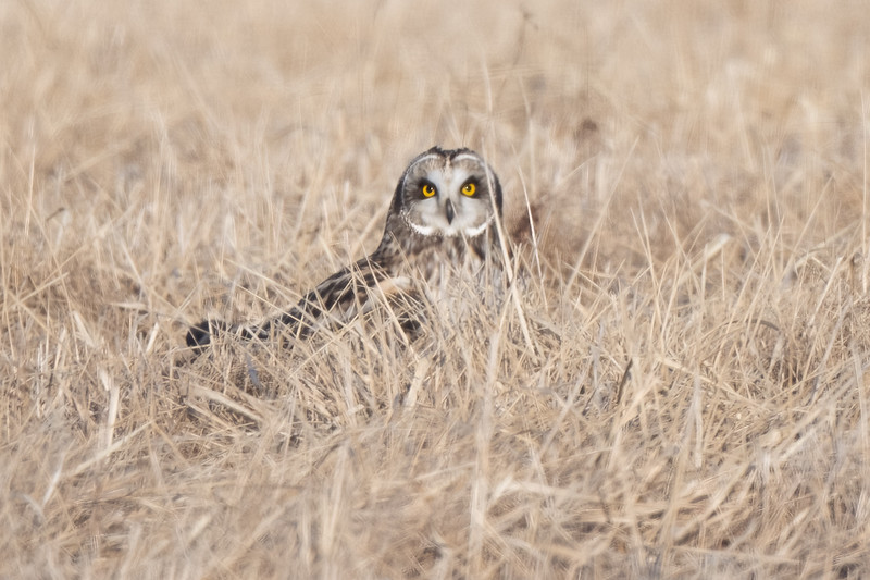 #1600 Short-eared Owl