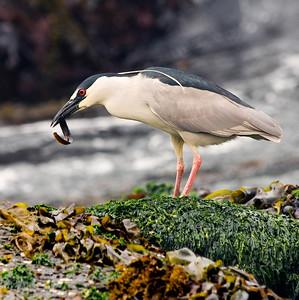 Herons & Egrets & Ibis
