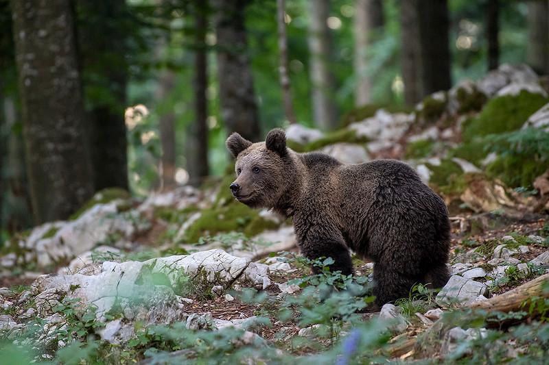 Braunbär im Wald.jpg