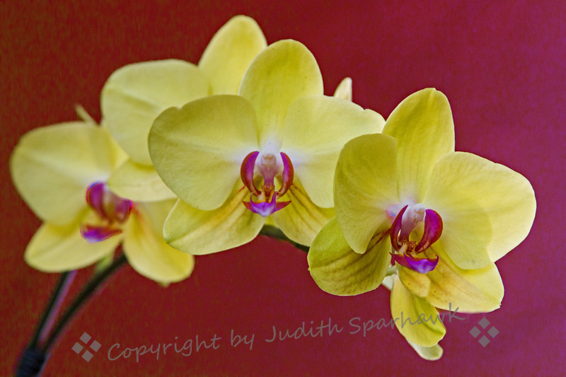Orchids Yellow