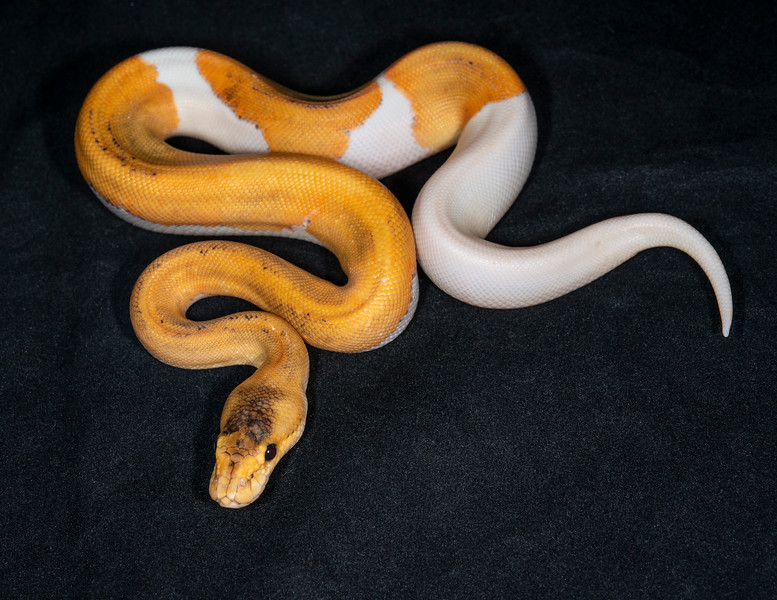 #2046, Male Champagne Fire Extreme Ringer 66% possible Het Pied, $400