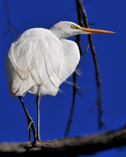 Great Egret 2013.jpg