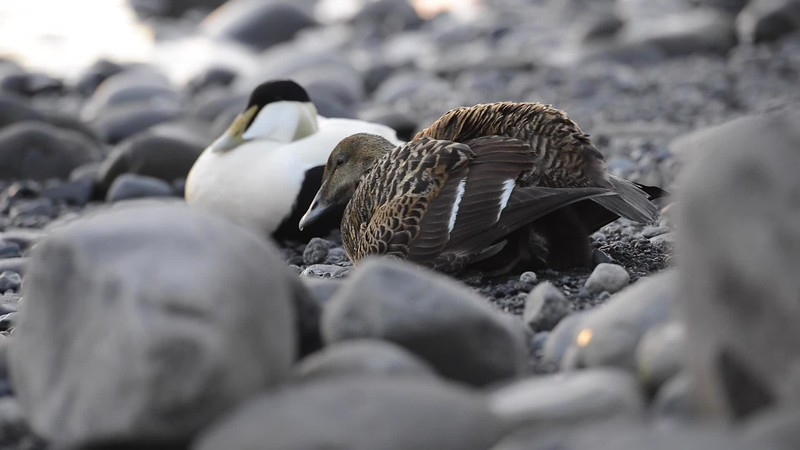 Family of common eider sea-ducks with chicks, colorful male and brown female at Jökulsárlón glacial river lagoon in the Icelandic Vatnajökull National Park