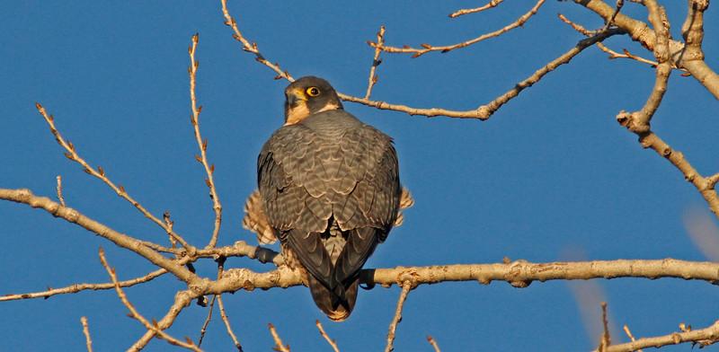 Peregrine Falcon, Sacto