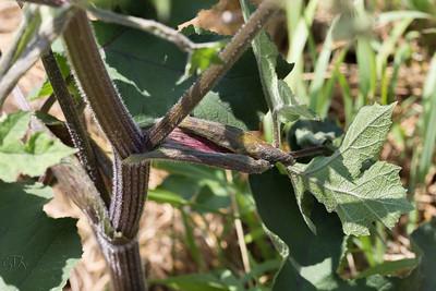 Berce commune (Heracleum sphondylium)