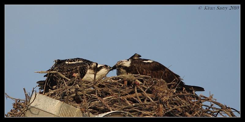 Mother osprey feeding juvenile, Robb Field, San Diego River, San Diego County, California, May 2010