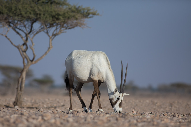 Arabian Oryx (70).jpg