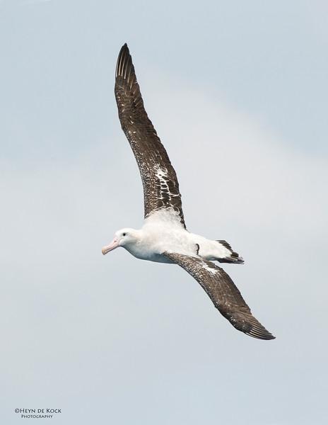 Wandering Albatross, Wollongong Pelagic, NSW, Aus, Oct 2013.jpg