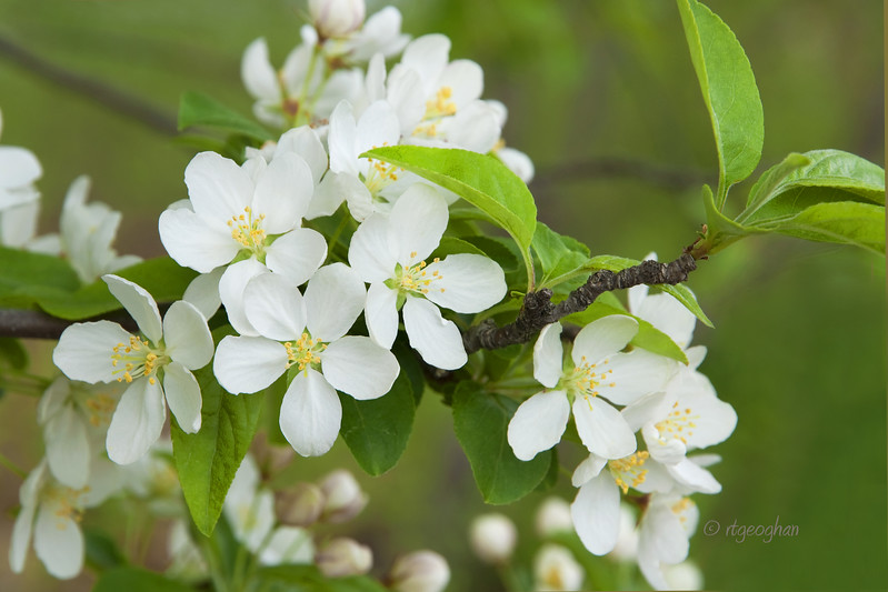 Trees_Crabapple Blossoms_0128.jpg