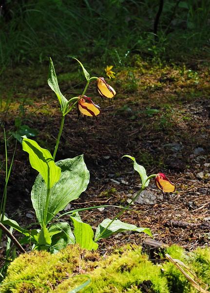 C. calceolus Boscodon 02-07-16 (57).jpg
