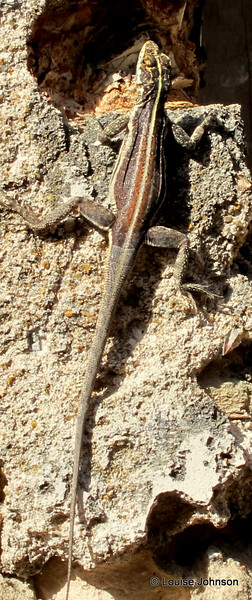 Another random reptile - Maragogipe, Brazil