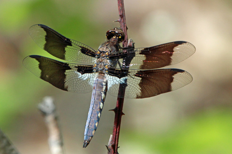 White Tail Dragonfly.jpg