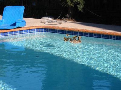 June 04: San Jose, baby ducks in my pool!